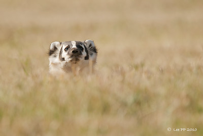 Nature Photographic Society (Singapore) - Photo of Month - October 2010  Badger @ Bear River State Park, Evanston, Wyoming, USA