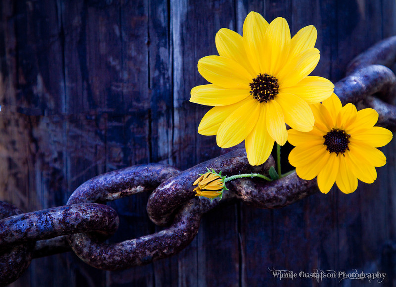 Best In Category <br /> Color Print<br /> Orlando Camera Club<br /> 2010<br /> Title: SUNFLOWERS AND RUSTY CHAIN