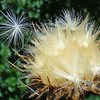 Purple Thistle gone to seed