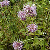 Wild Bergamot grows profusely in the meadows at Purchase.