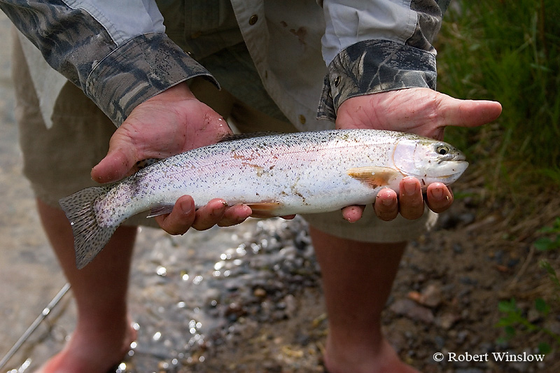 Rainbow Trout, San Juan River below Navajo Reservoir Dam, New Mexico