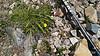 Moss Campion and Alpine Cinquefoil,132017W1C