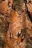 Ponderosa Pine Bark Detail 0204W1C