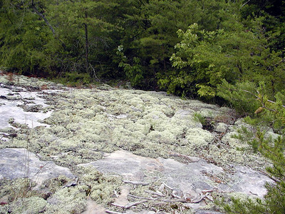 Reindeer moss grows atop this bluff Honey Creek Loop Hike Big South Fork Recreation Area Scott County, TN
