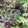 Ripe Blueberries were along many parts of Honey Creek Loop Trail<br /> Honey Creek Loop Hike<br /> Big South Fork Recreation Area<br /> Scott County, TN