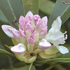Rosebay Rhododendron opening its blooms<br /> The area had more rosebay than anywhere I've seen.<br /> Rhododendron maximum