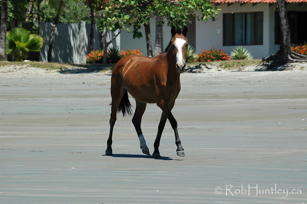 Free range horse at Playa Samara, Costa Rica