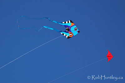 Kites at the 2007 Barmouth Kite Festival, Barmouth, Wales, UK. This image was taken as a vertical but by turning it clockwise it has more impact as a fish chase. © Rob Huntley