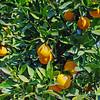 There are several small orange groves along the way...OJ anyone?