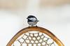 Black-capped Chickadee, Poecile atricapillus, Perched on a Snowshoe, La Plata County, Colorado, USA, North America