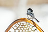 Black-capped Chickadee, Poecile atricapillus, Perched on a Snowshoe, La Plata County, Colorado, USA, North America