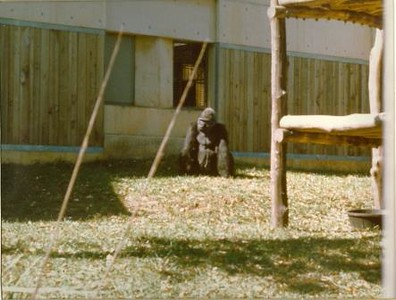 Gorilla (01023)