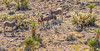 Wild burros along Route 66 near Oatman, AZ - C1-0008 - 72 ppi