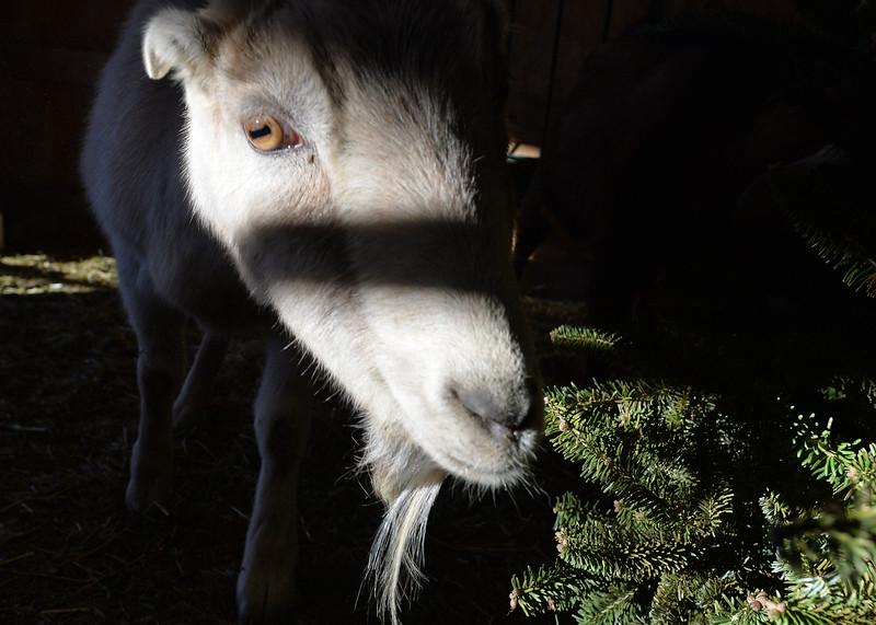 goats28