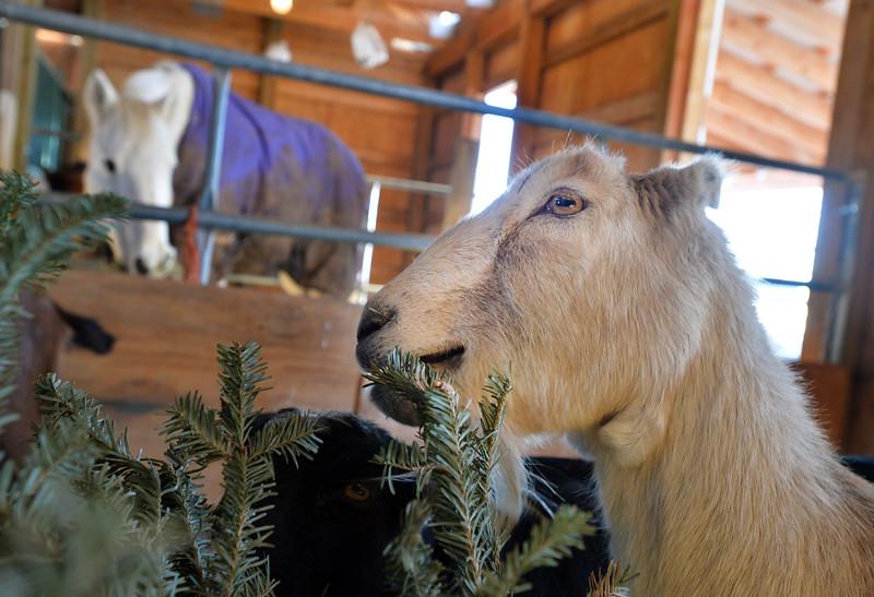 goats58