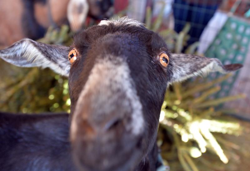 goats44