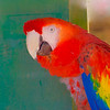 """Scarlet Military Macaw"" (photography) by Stephen Smith"