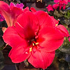 """Red Amaryllis Blossom"" (photography) by Stephen Smith"