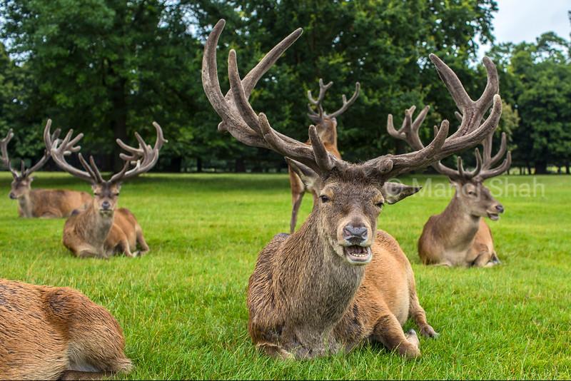 Red Deer at Wallaton Park, Nottingham, United Kingdom.