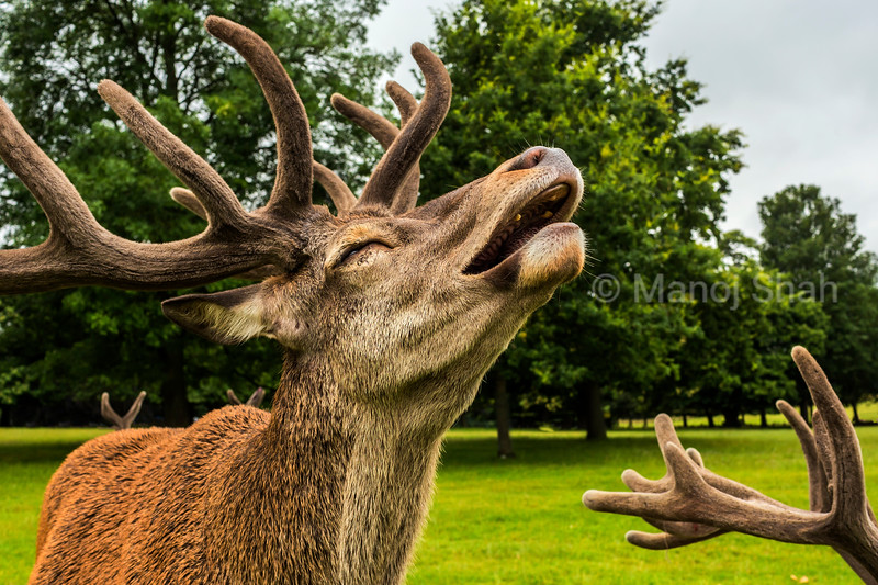 Red Deer stag at Wallaton Park, Nottingham, United Kingdom.