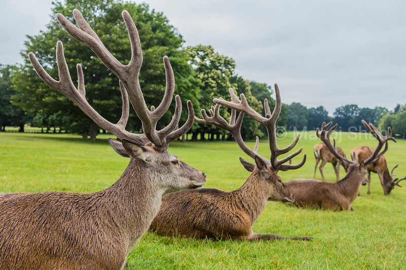 Red Deer stags at Wallaton Park, Nottingham, United Kingdom.