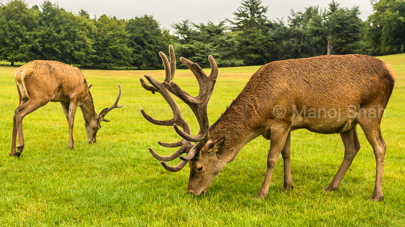 Red Deer at Wallaton Park, Nottingham, United Kingdom.