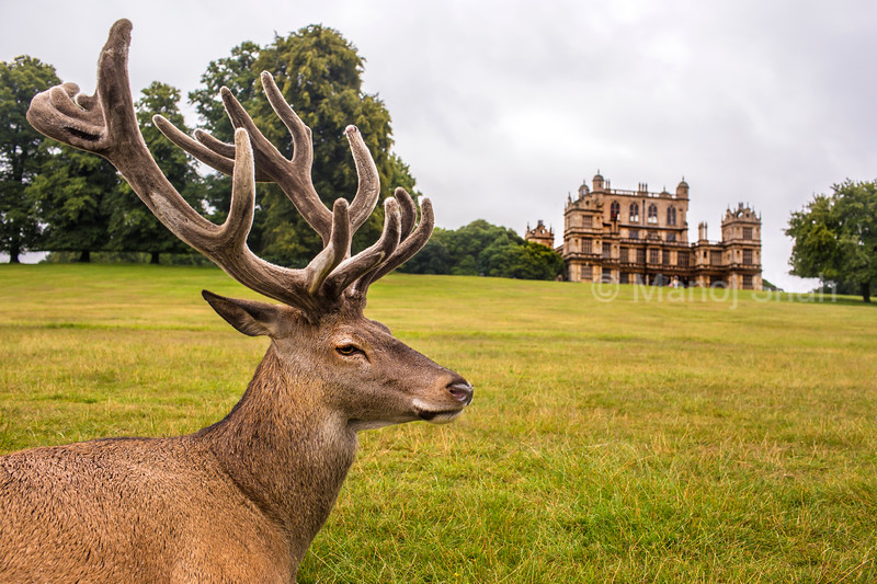 Red Deer in front of Wallaton Hall at Wallaton Park, Nottingham, United Kingdom.