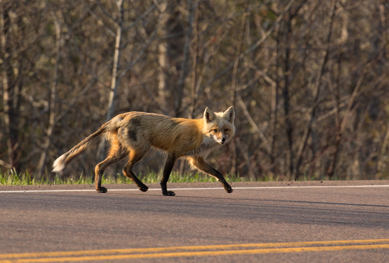 A red fox vixen crosses a busy stretch of road