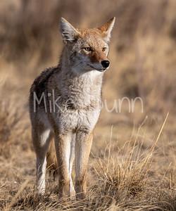 Coyote-22