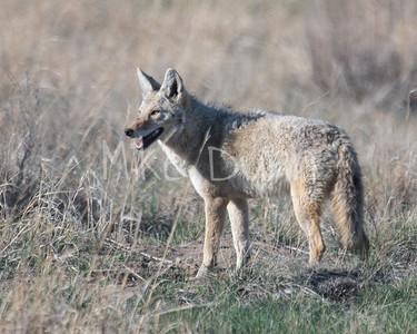 Coyote-18