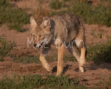 Coyote-20