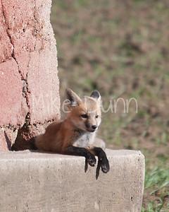 Red Fox-28