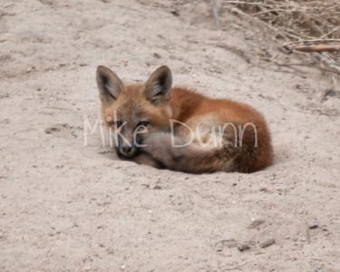 Red Fox-30