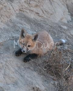 Red Fox-6