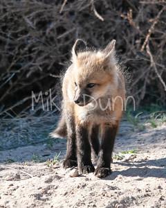 Red Fox-23