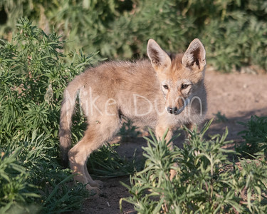 Coyote-14