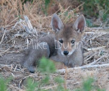 Coyote-6