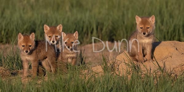 Coyote-24