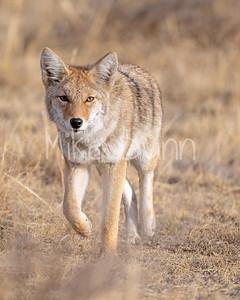 Coyote-21