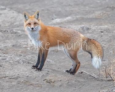 Red Fox-31