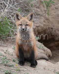 Red Fox-26