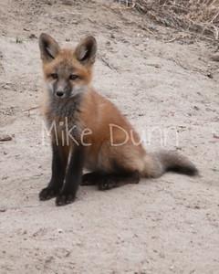 Red Fox-11