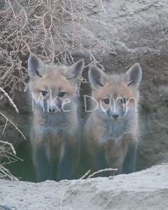 Red Fox-15