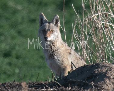 Coyote-19