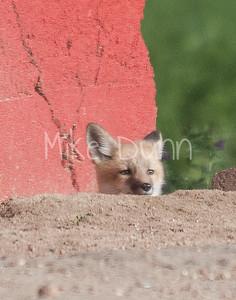 Red Fox-10