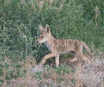 Coyote-2