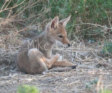 Coyote-12