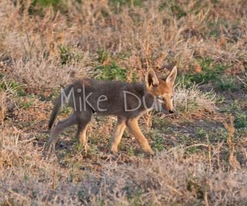 Coyote-4