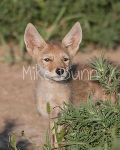 Coyote-16