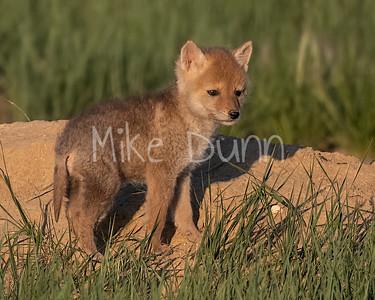Coyote-23